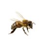 μέλισσα που πετά
