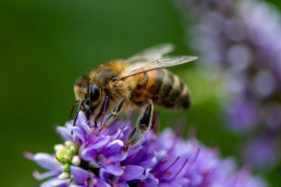 Μέλισσα μαζεύει μέλι